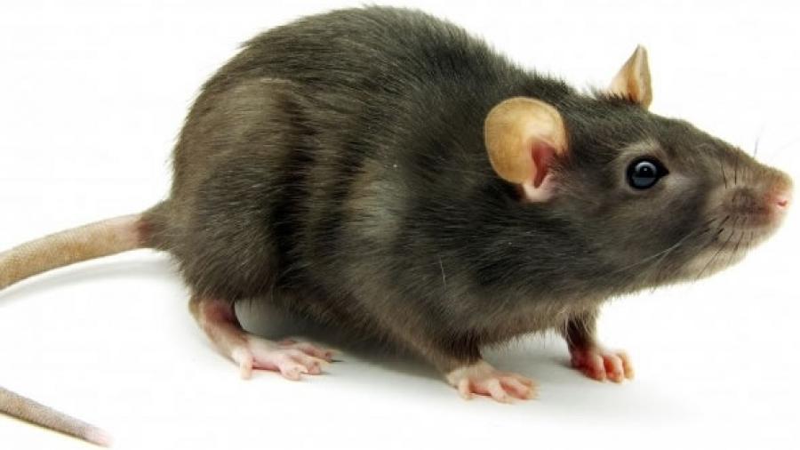 Fare Sıçan