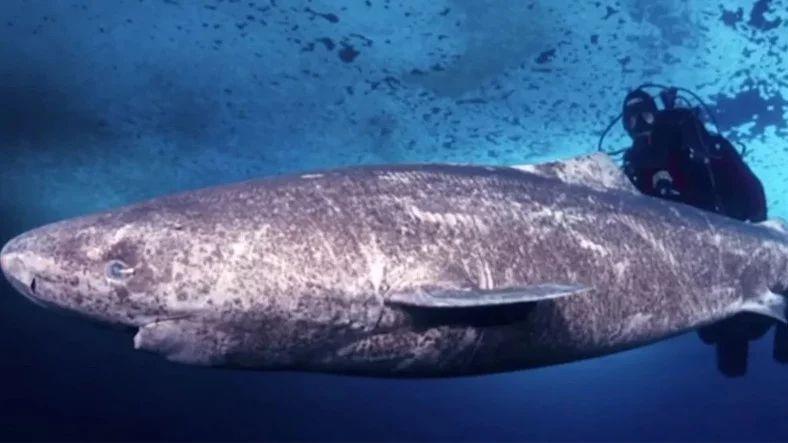 Grönland Köpekbalığı