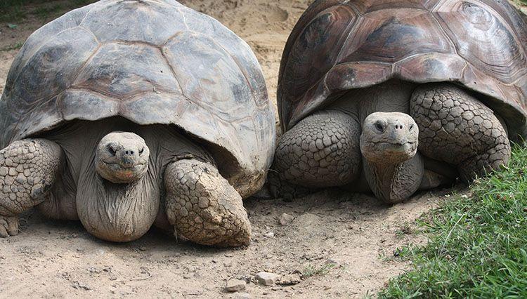Dev Kaplumbağa